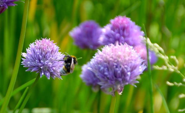 Chives: Chives in flower with bee.
