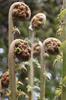 Tree fern fronds